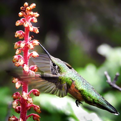 hummingbird_atypical_flower