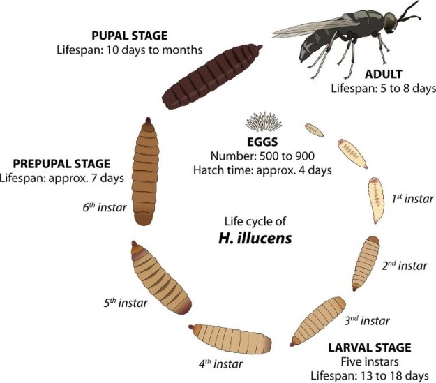 soldier fly life cycle