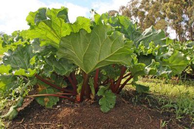 rhubarb-plant-1406455