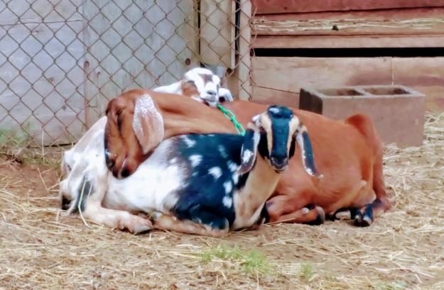goaties pig pile